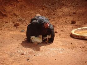 Des_poules